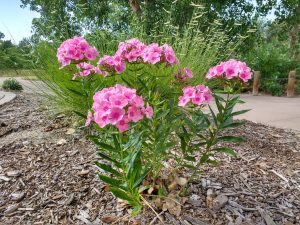 Tall Phlox Plant with Clusters of Pink Flowers - Free High Resolution Photo