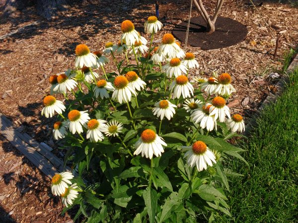 White Swan Echinacea Coneflowers - Free High Resolution Photo