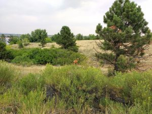 Mule Deer in Field with Pine Trees