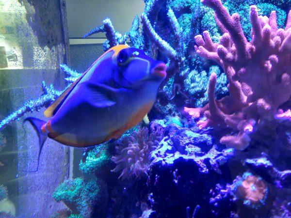 Naso Tang Lipstick Fish - Free High Resolution Photo