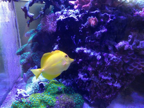 Yellow Tang Fish - Free High Resolution Photo