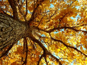Autumn Tree From Below - Free High Resolution Photo